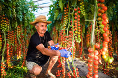 Mature Man in greenhouse holding cherry tomatoes harvest at the camera in greenhouse. Agriculture Stock Photos