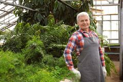 Mature man in greenhouse among tropical plants stock photography
