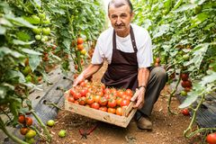 Mature man picking red cherry tomatoes harvest in greenhouse. Older farmer harvesting tomato in box for sale at market. royalty free stock photo