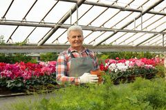 Mature man holding pot with seedling in greenhouse royalty free stock photos
