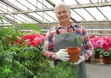 Mature man holding pot with seedling in greenhouse. stock images
