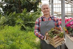 Mature man holding wooden crate with tropical plant in greenhouse royalty free stock image