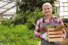 Mature man holding wooden crate with tropical plant. Home gardening stock photo