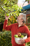 Mature Man Picking Apples From Tree In Garden. Looking Off Camera Stock Photo