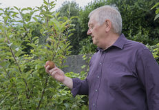 Mature man picking apples from a tree. Portrait image of a mature man picking apples from a tree royalty free stock photography