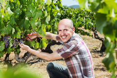 Mature  man picking ripe grapes on vineyard Royalty Free Stock Images