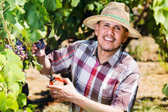 Mature  man picking ripe grapes on vineyard Royalty Free Stock Photos