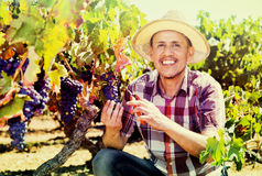 Mature  man picking ripe grapes on vineyard Stock Image