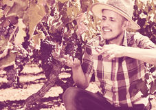 Mature  man picking ripe grapes on vineyard Royalty Free Stock Photography
