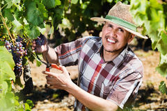 Mature  man picking ripe grapes on vineyard. Smiling diligent mature man working on collecting ripe grapes on winery yard Royalty Free Stock Photos