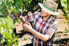 Mature  man picking ripe grapes on vineyard Royalty Free Stock Photo