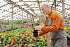 Mature man potting flower in greenhouse royalty free stock images
