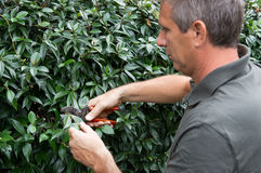 Mature Man Pruning Bushes Stock Image