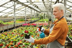 Mature man taking care of blooming flower. Home gardening royalty free stock photography