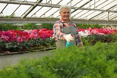 Mature man taking care of plants. Home gardening royalty free stock image