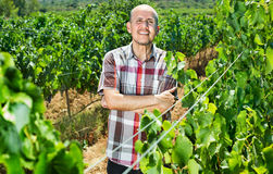 Mature man worker among grapes trees Royalty Free Stock Photo
