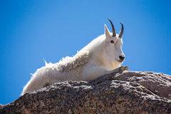 Mature mountain goat resting on boulder Stock Image