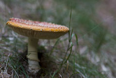 Mature  mushroom. Mature poisonous mushroom in the forest Stock Photography