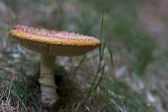 Mature  mushroom Stock Photography