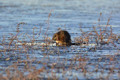 A Mature Muskrat. This mature Muskrat, after feeding all night, enjoys the morning sun while hiding in the weeds stock photography