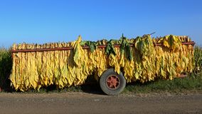 Mature newly harvested tobacco hanging outside in a trailer Stock Photo