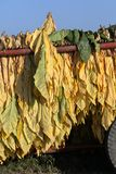 Mature newly harvested tobacco hanging outside in a trailer Stock Photos