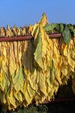 Mature newly harvested tobacco hanging outside in a trailer Royalty Free Stock Photography