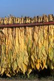 Mature newly harvested tobacco hanging outside in a trailer Stock Images