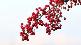 Mature nice red hawthorn stock video footage