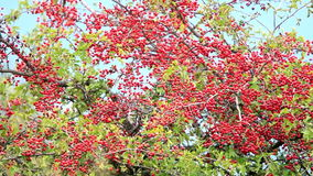 Mature nice red hawthorn stock footage