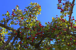 Mature nice red hawthorn berries  Royalty Free Stock Photo