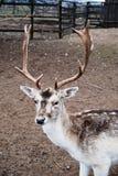 Mature north deer portrait stock image