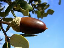 Mature oak. Acorn and blue sky stock photography
