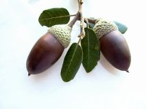 Mature oak acorn. And white deep royalty free stock photo