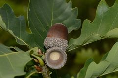 Mature oak acorn on a tree branch stock photography