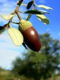 Mature oak I. Mature oak acorn and blue sky stock image