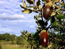 Mature oak II. Mature oak acorn and blue sky stock photos