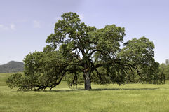Mature Oak in Pope Valley. A mature oak tree in a pasture in Pope Valley, California Royalty Free Stock Photos