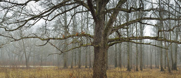 Mature oak tree sits in a field. Stock Photography