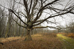 Mature oak tree sits in a field. Royalty Free Stock Photo