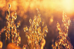 Mature oats. In the rays of the setting sun stock photo