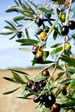 Mature olives . Royalty Free Stock Photography