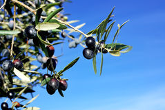 Mature olives on branch. Royalty Free Stock Photos