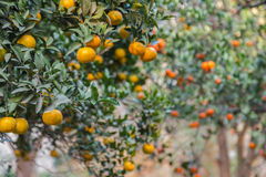 Mature orange grove Stock Image