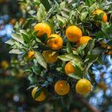 Mature orange grove Royalty Free Stock Photo