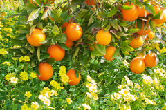 Mature oranges hang on branches. Oranges growing on a tree against a green grass and yellow flowers Royalty Free Stock Photo