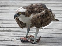 Mature Osprey Eating the Fish on the Deck stock photo
