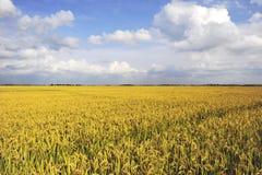 Mature paddy. Golden sun ripe paddy fields Stock Image