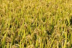 Mature paddy. Golden sun ripe paddy fields Stock Photo
