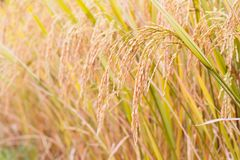 Mature paddy in paddyfield. Royalty Free Stock Photography